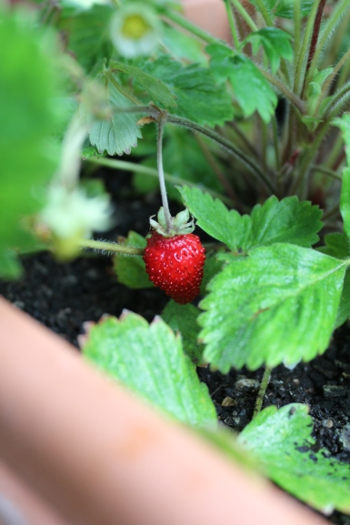 Our first harvest from the farm - a wild alpine strawberry, grown from seed and about the size of your thumbnail)