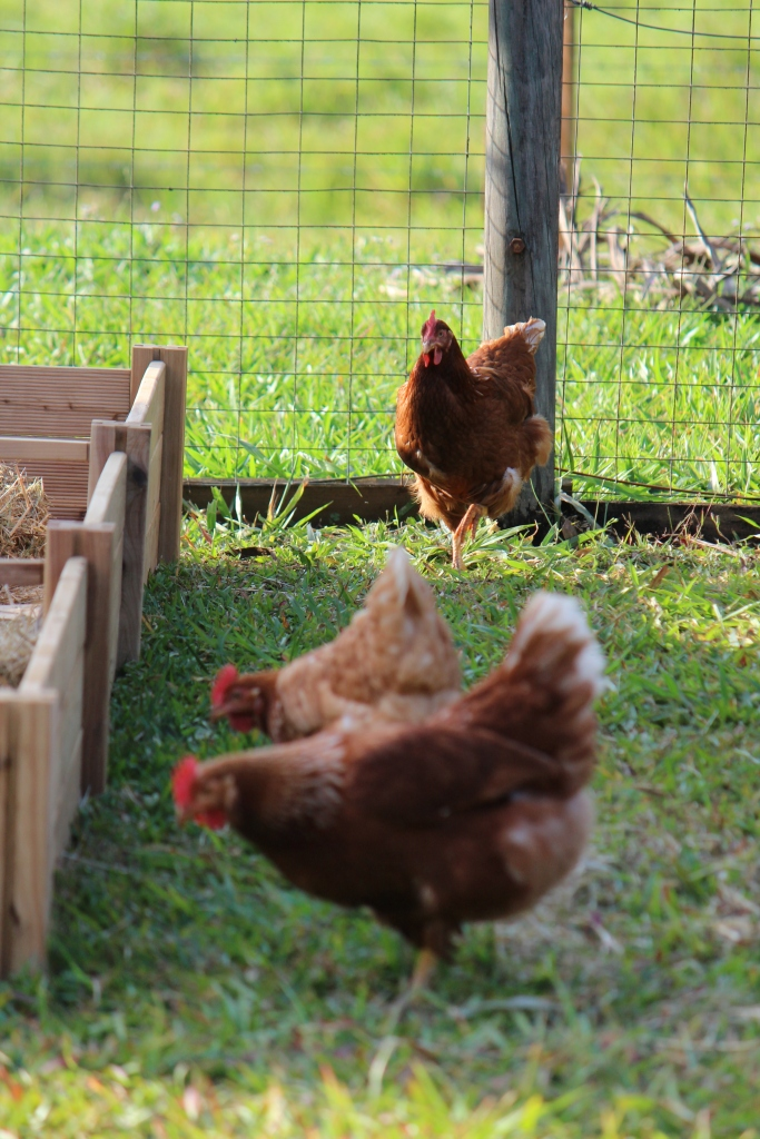 Boss chicken with her troops. New raised garden bed to the left.