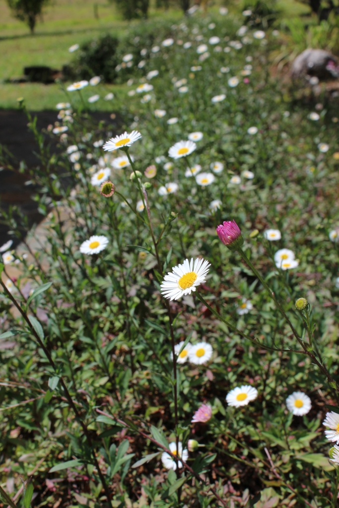 Thousands of seaside daisies in bloom at the farm