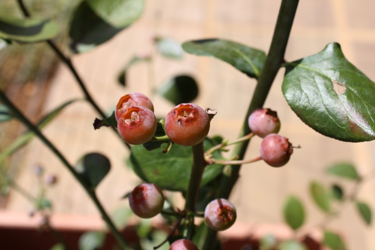 Blueberries turning red as they ripen on the bush