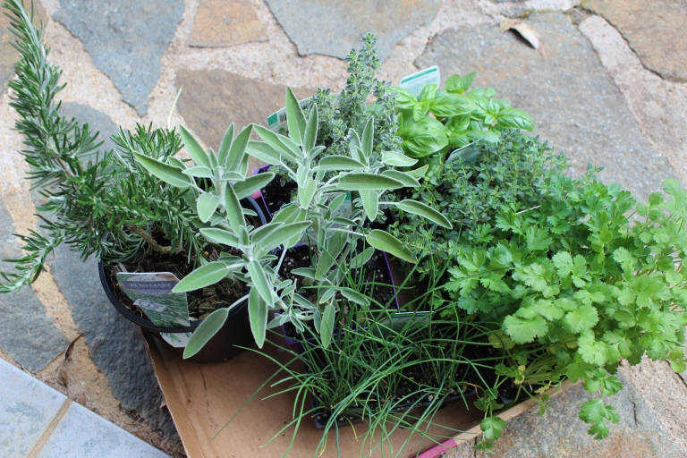 Herb seedlings ready for planting in the new herb garden