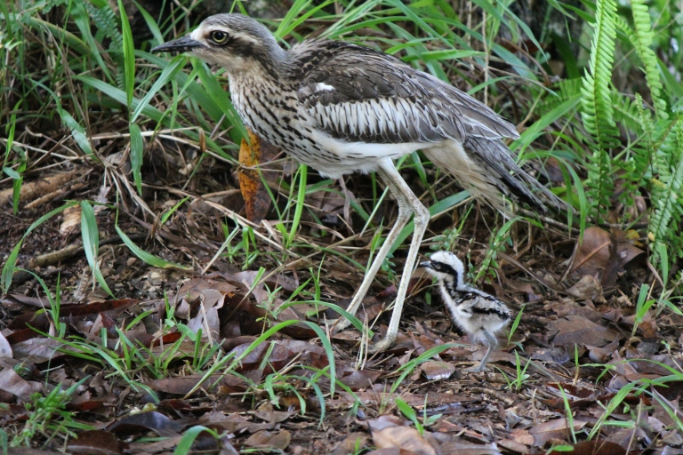 One day old curlew chick on its first walk with parent curlew