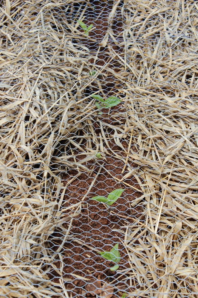 Climbing green bean seedlings