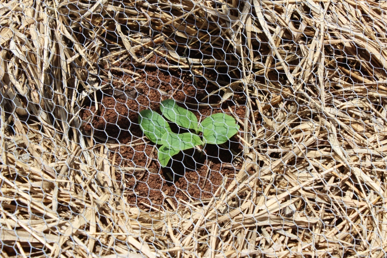 Zucchini seedlings - we'll pull out the weaker two and leave the strongest plant to grow on