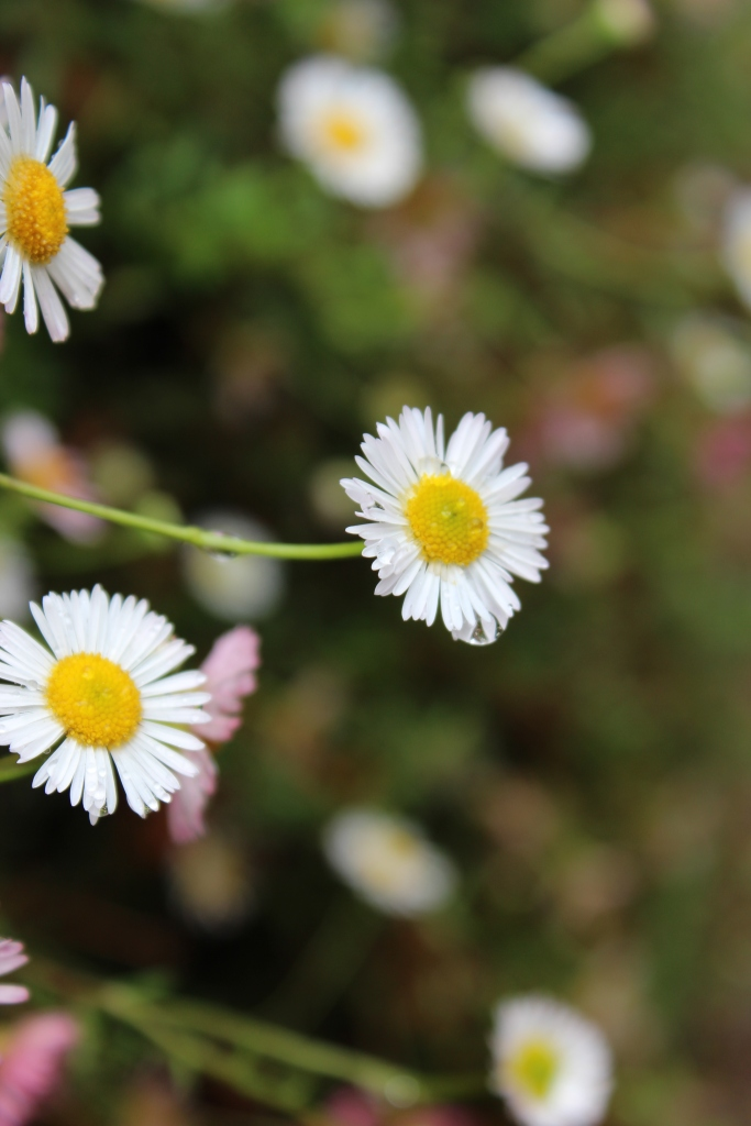 Raindrops clinging to the seaside daisies near the herb garden