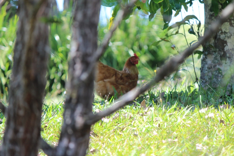 Chicken on the loose! Caramel enjoying unexpected early morning freedom.