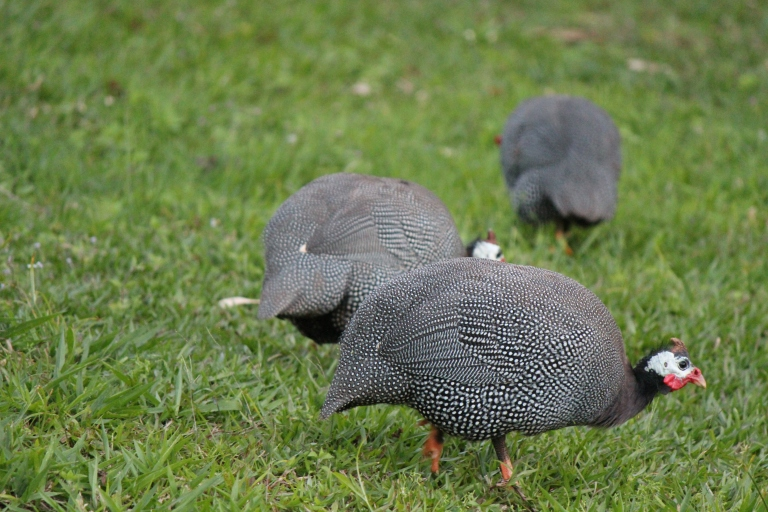 three guinea fowl